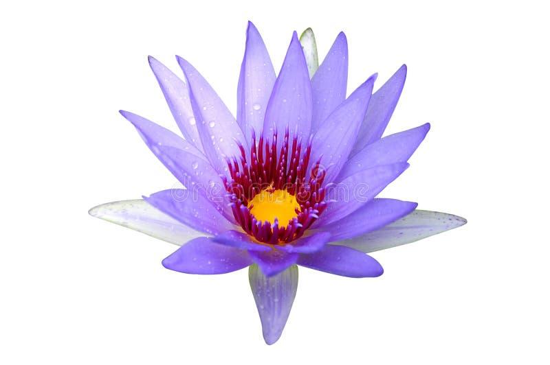 Пурпурный цветок лотоса стоковое изображение rf
