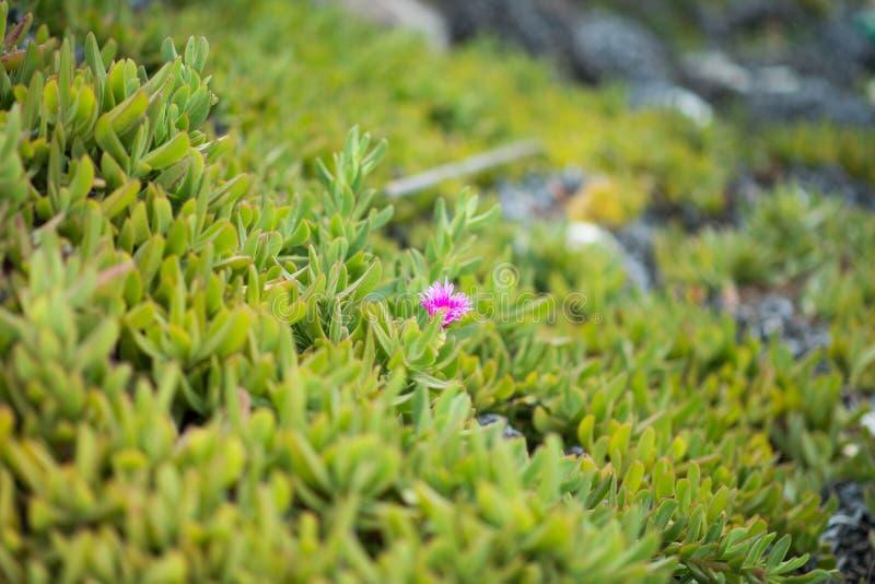 Пурпурный цветок среди зеленой травы стоковое фото rf