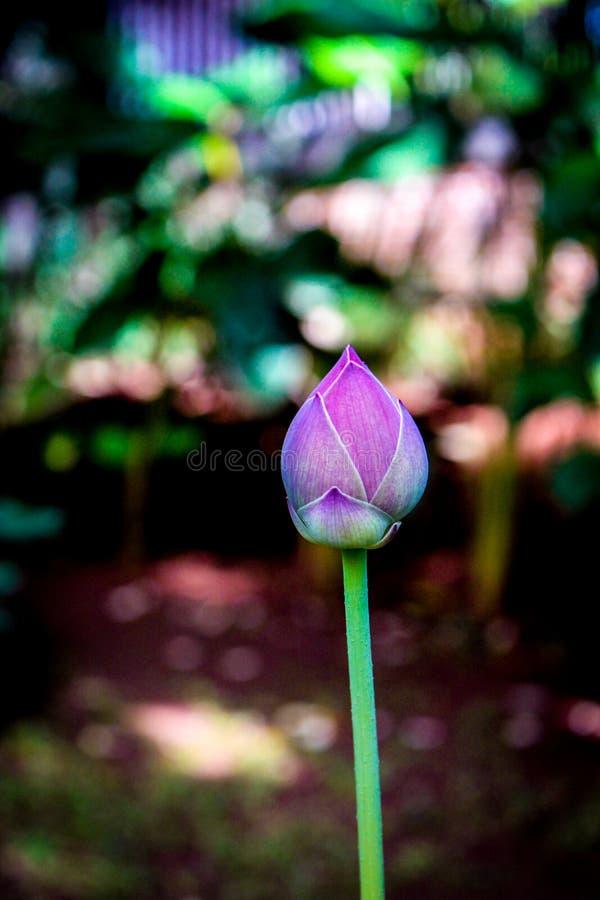 Пурпурный цветок цветения под светом солнца стоковое фото
