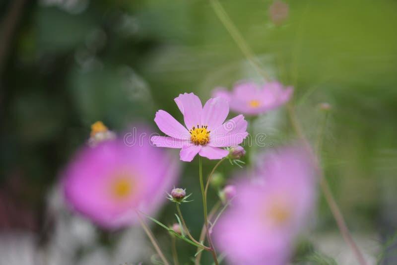 Пурпурный цветок cosme на запачканной предпосылке зеленого сада стоковые фото