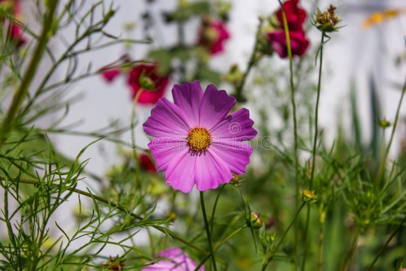 Пурпурный цветок cosme на фоне цветников стоковое изображение