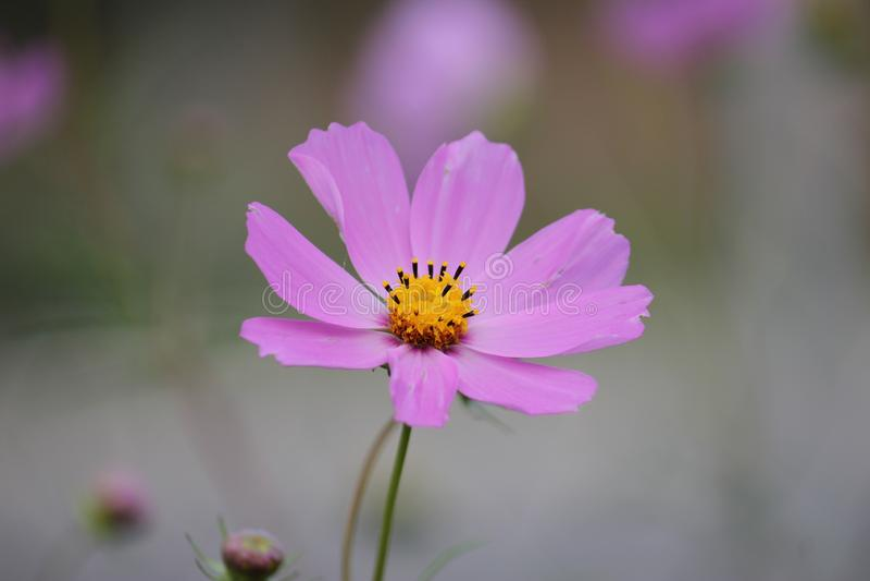 Пурпурный цветок cosme с запачканной предпосылкой стоковое изображение rf