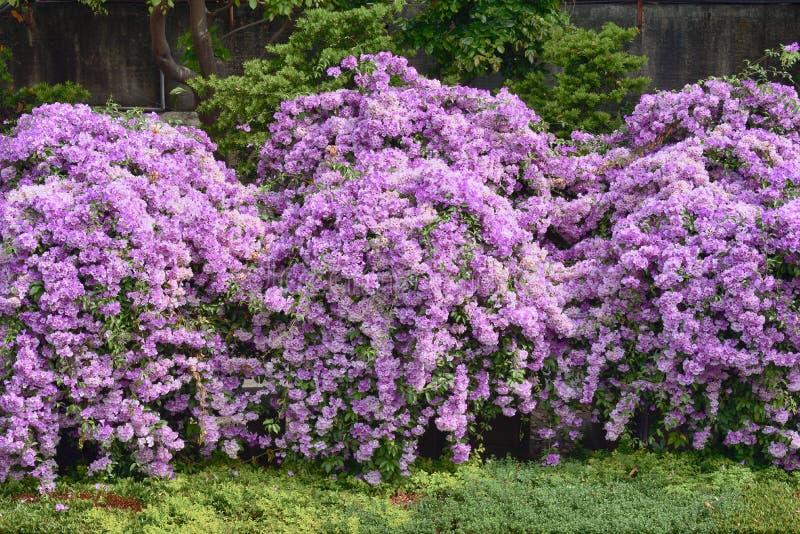 Пурпурный чеснок стоковое фото
