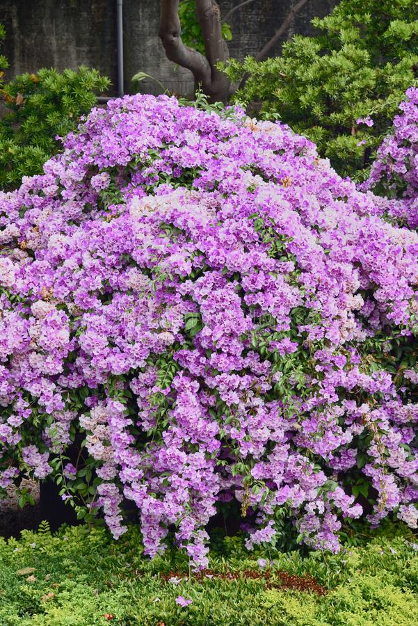 Пурпурный чеснок стоковые фотографии rf