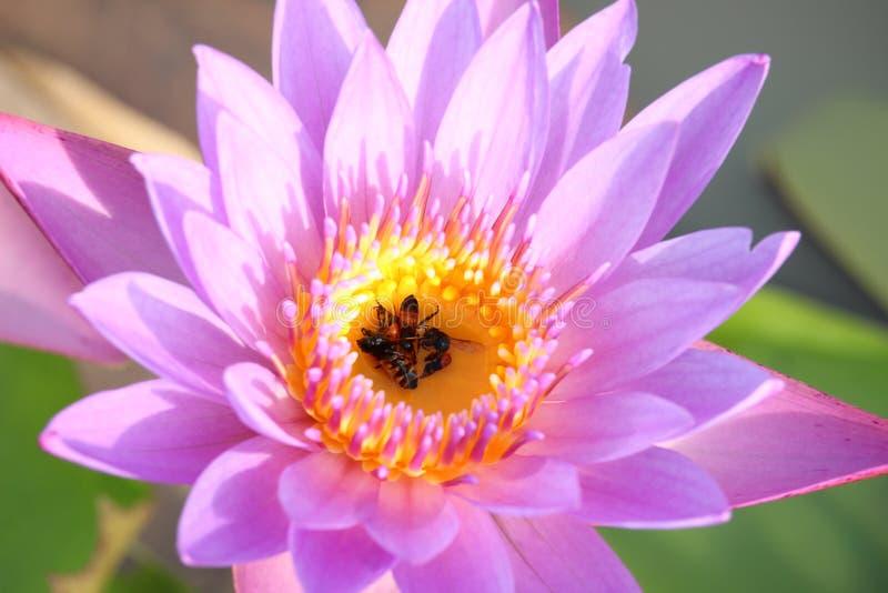 Пурпурн-розовые цветки лотоса зацветают в бассейне Задняя часть имеет красивые зеленые лист лотоса стоковые фотографии rf