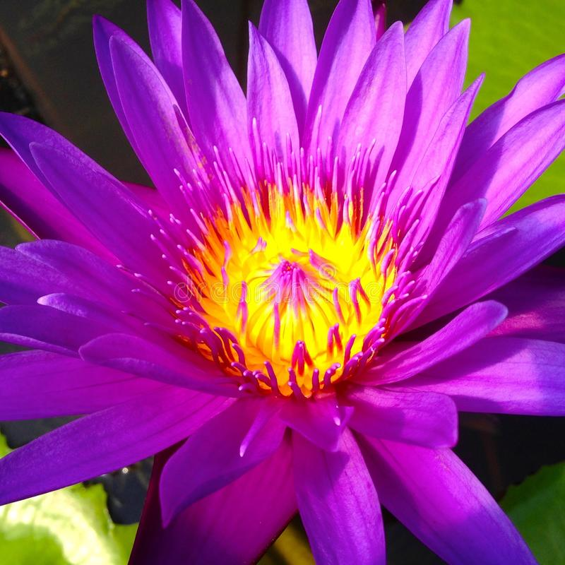 Пурпуровая лилия воды стоковое изображение rf