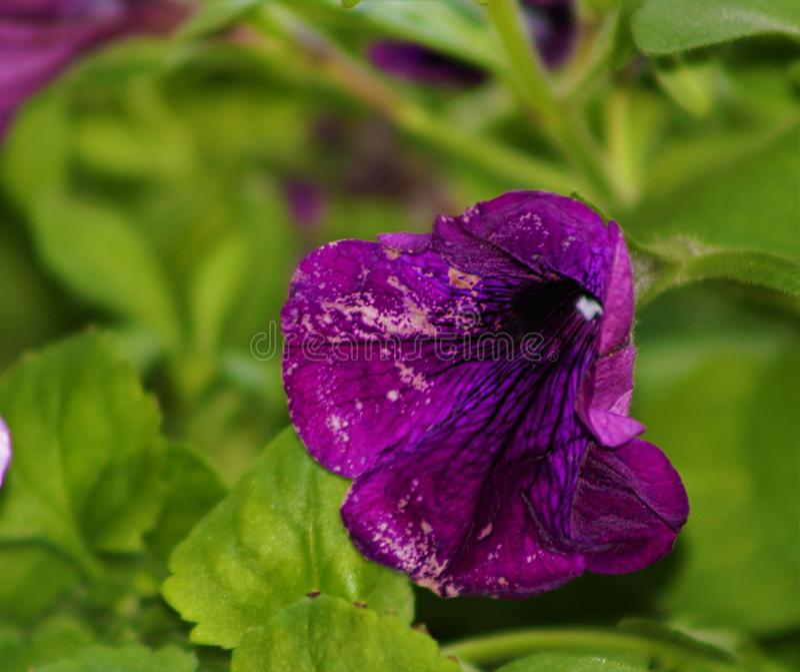 Пурпуровая красотка стоковая фотография