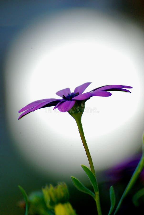 Пурпуровая маргаритка стоковое изображение rf