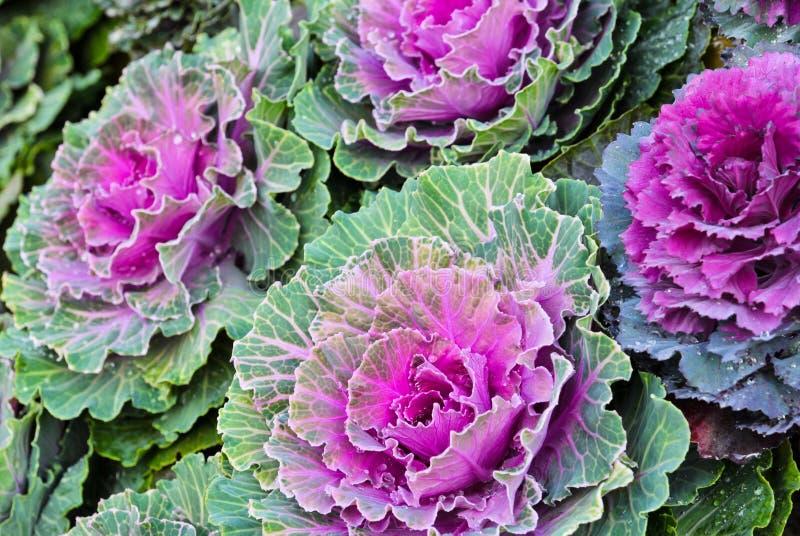 Пурпуровая орнаментальная капуста стоковые фото