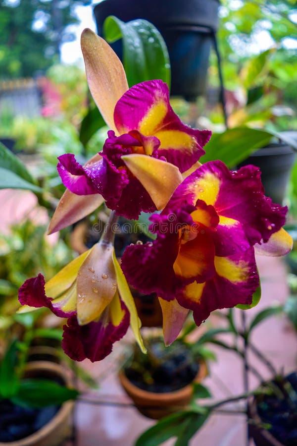 Пурпуровая орхидея в саде стоковая фотография rf