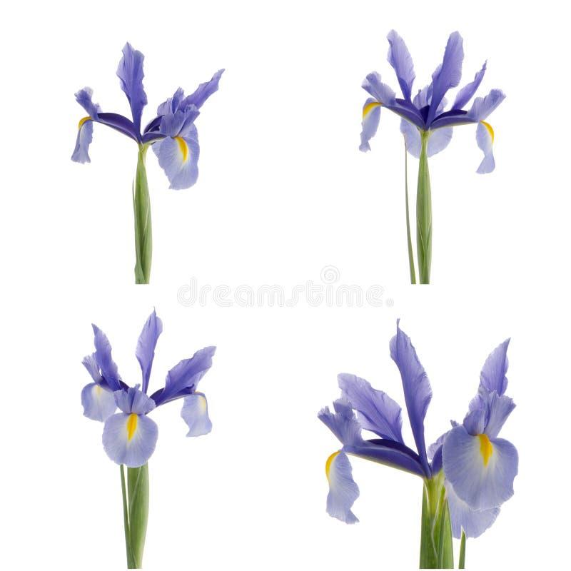 Download Пурпуровые лилии стоковое фото. изображение насчитывающей цвет - 40580572