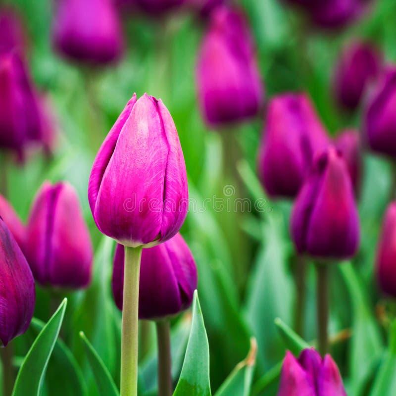 Пурпуровые тюльпаны стоковая фотография