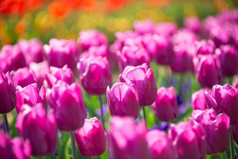 Download пурпуровые тюльпаны стоковое фото. изображение насчитывающей влюбленность - 41652072