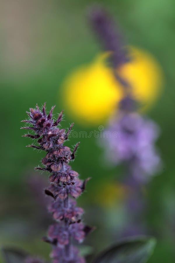 Пурпуровый базилик стоковые изображения rf