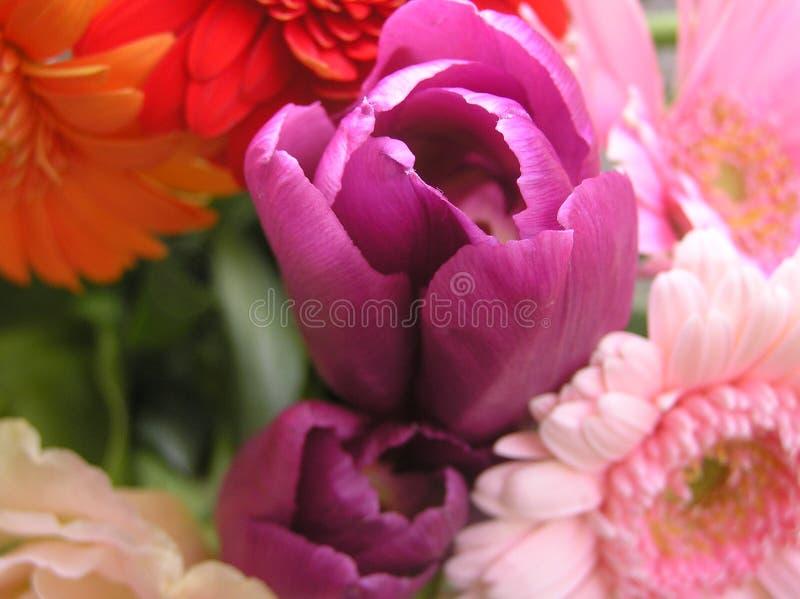 пурпуровый тюльпан стоковое фото rf