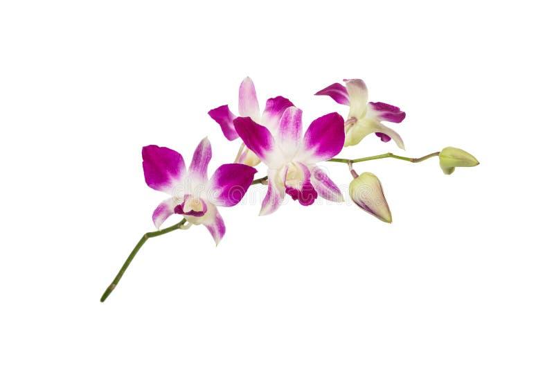 Пурпуровый цветок орхидеи стоковые изображения