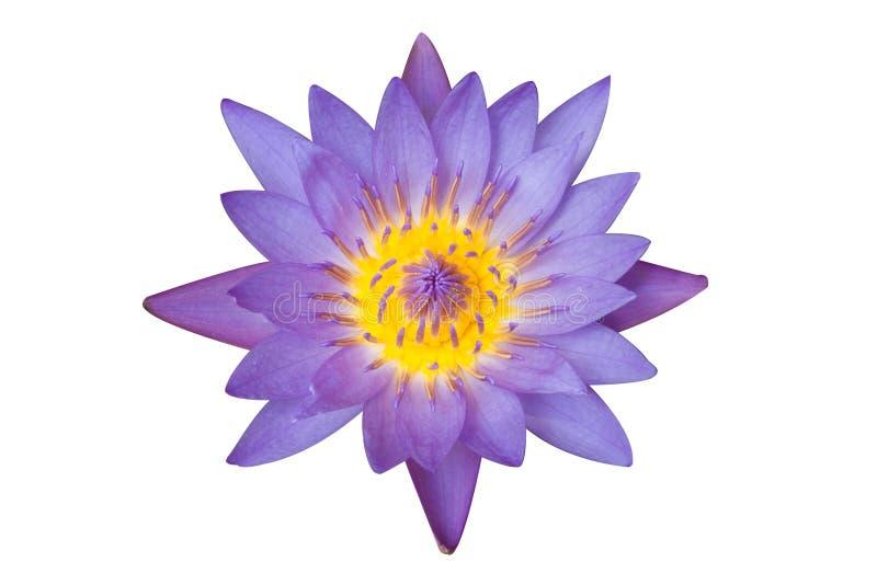 Пурпуровый цветок лотоса стоковая фотография rf