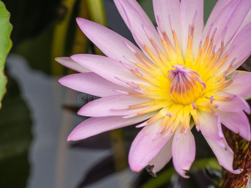 Пурпуровый цветок лотоса стоковые изображения