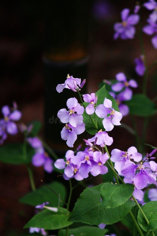 Пурпуровый цветок стоковое изображение rf