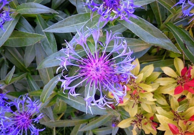 Пурпуровый cornflower стоковое фото