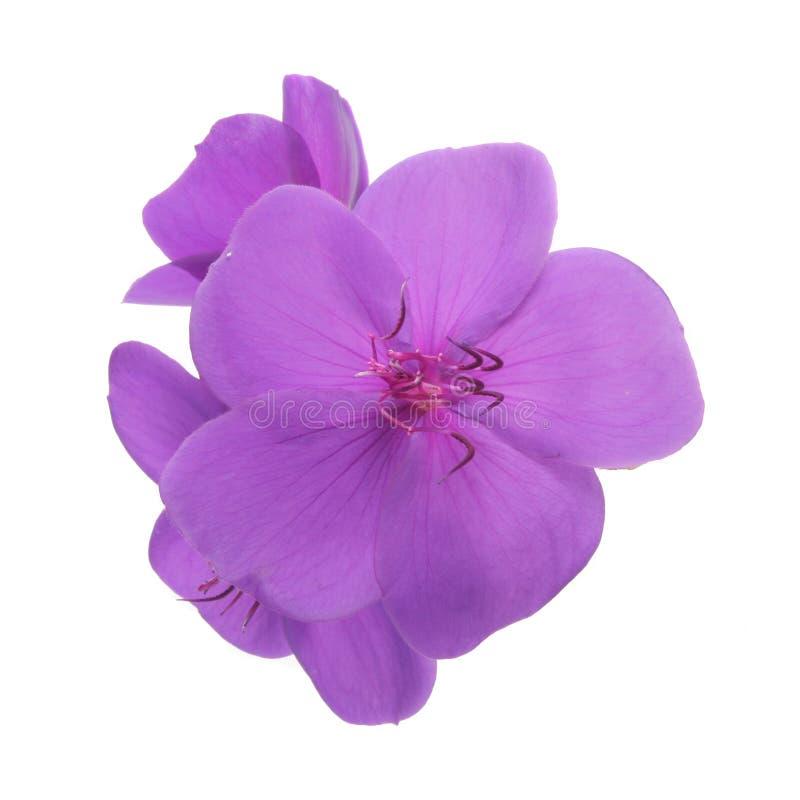 пурпур изолированный цветком стоковое фото rf