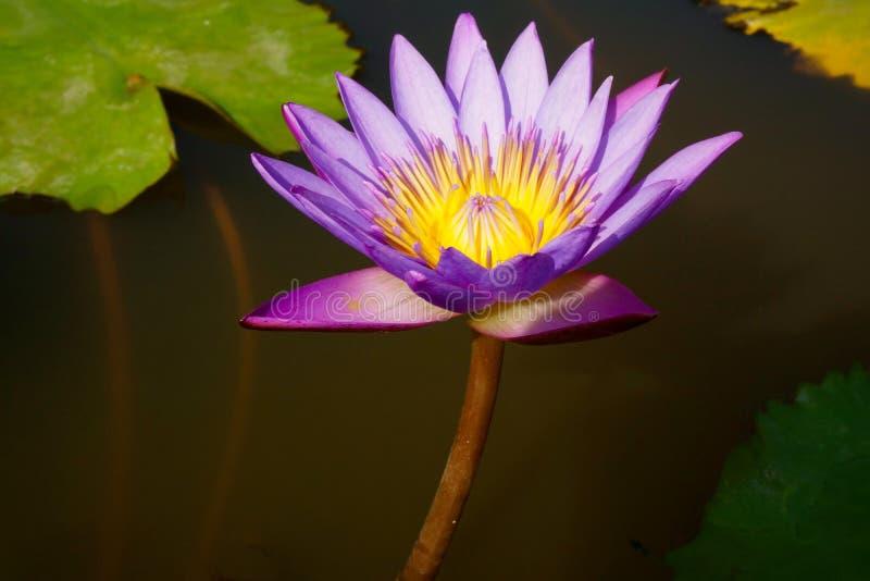 Пурпур лилии воды с желтым центром стоковое фото