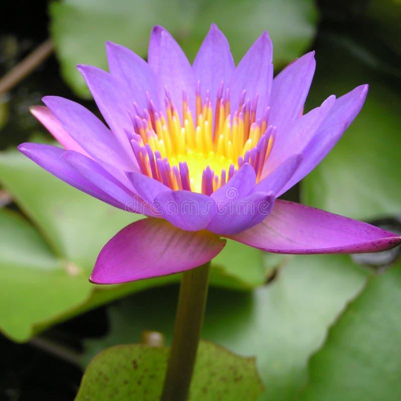 пурпур лилии стоковые фотографии rf