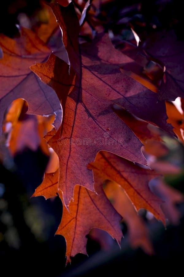 пурпур листьев осени стоковое изображение