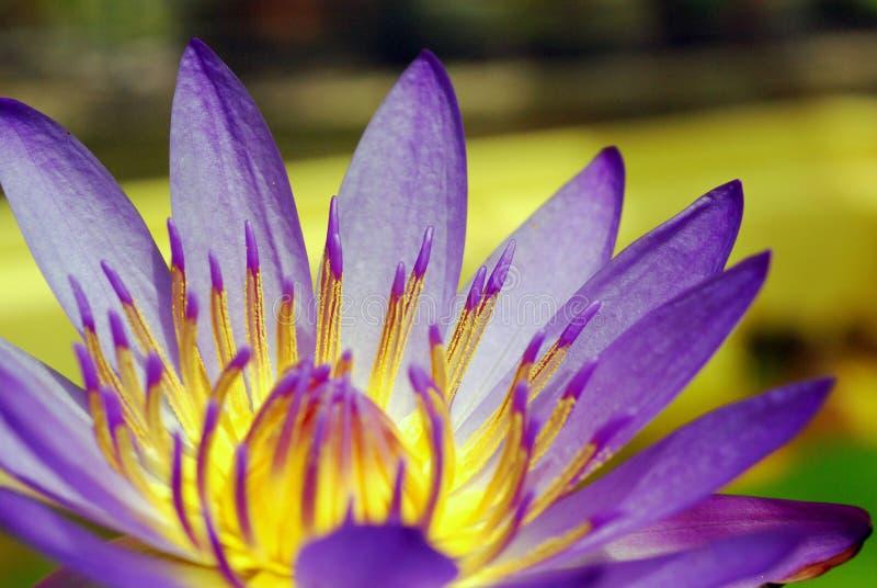 пурпур лотоса лилии стоковое фото