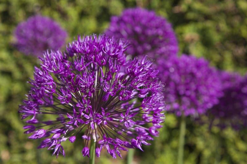пурпур лукабатуна стоковая фотография