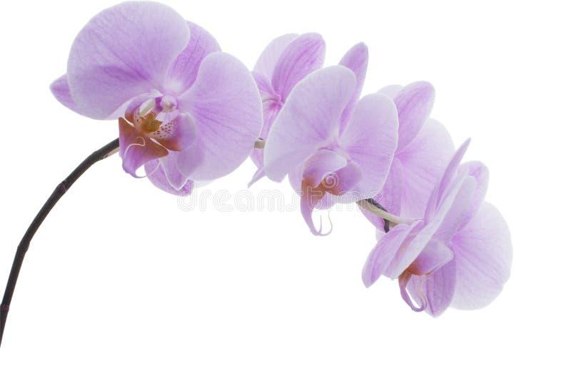пурпур орхидеи ветви близкий вверх стоковое фото rf