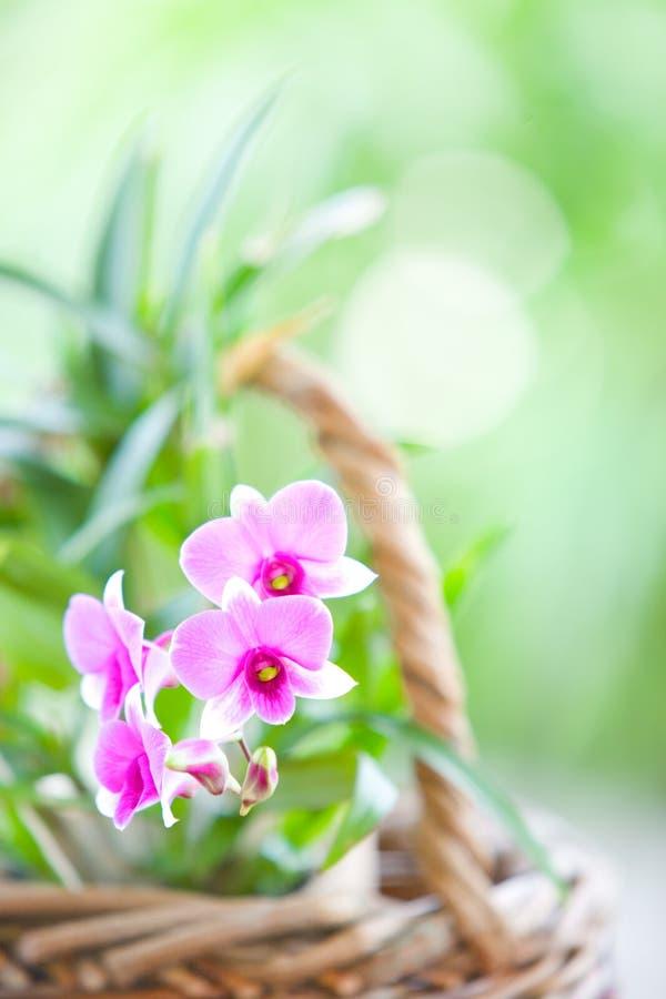 пурпур орхидеи востоковедный розовый стоковое фото rf
