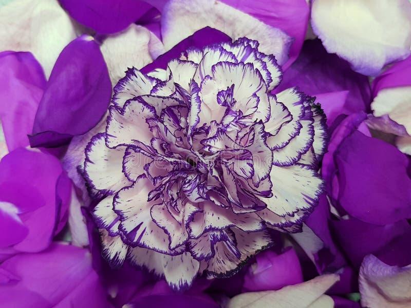 Пурпур с белыми цветком и лепестками розы гвоздики стоковая фотография rf