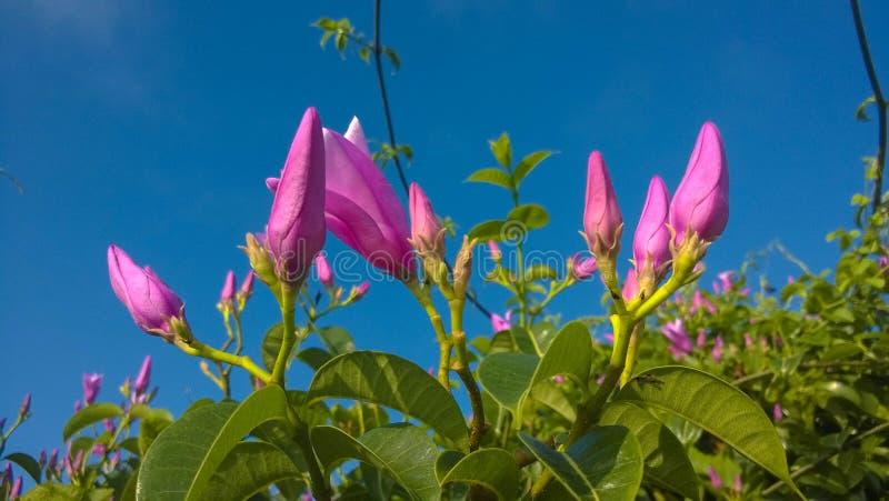 Пурпур цветет Apocynaceae стоковые изображения