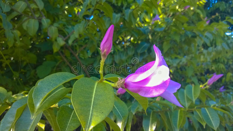 Пурпур цветет Apocynaceae стоковые фото