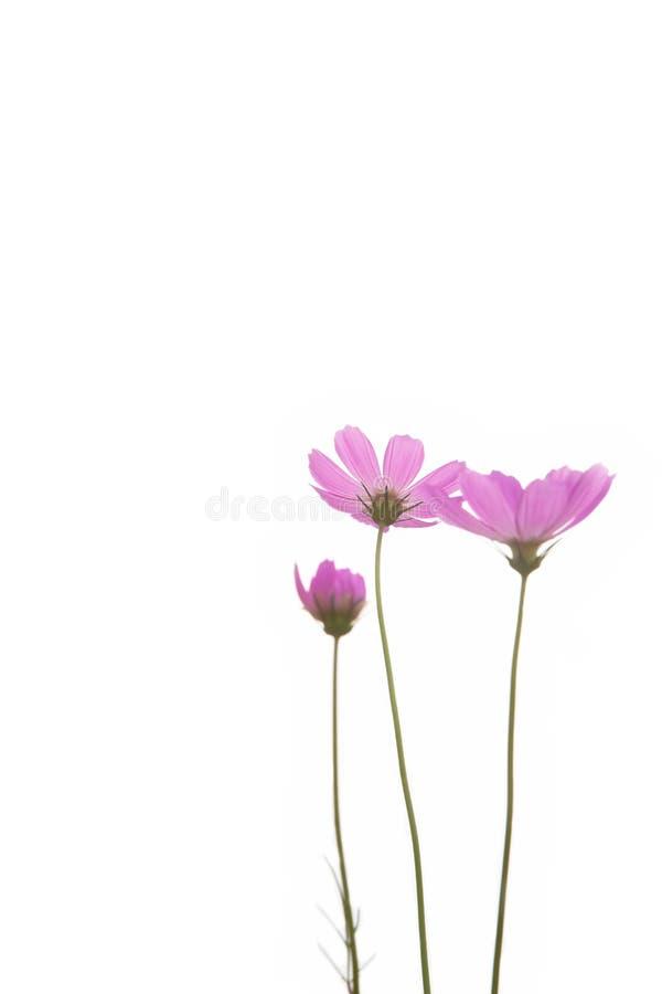 пурпур цветка маргаритки свежий стоковые изображения rf