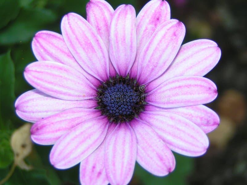 пурпур цветка розовый стоковое изображение rf
