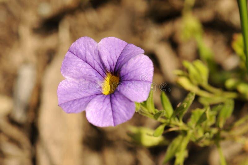 пурпур цветка стоковые фотографии rf