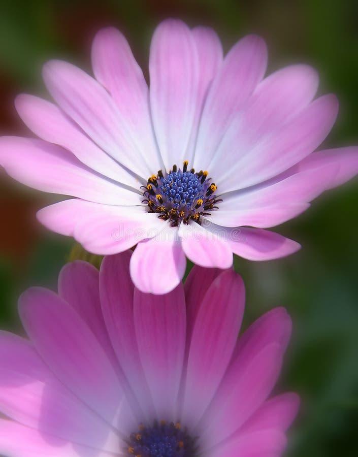 пурпур цветков розовый стоковые изображения