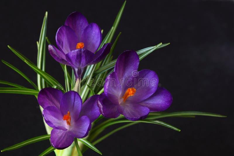 пурпур 3 крокуса стоковые изображения rf