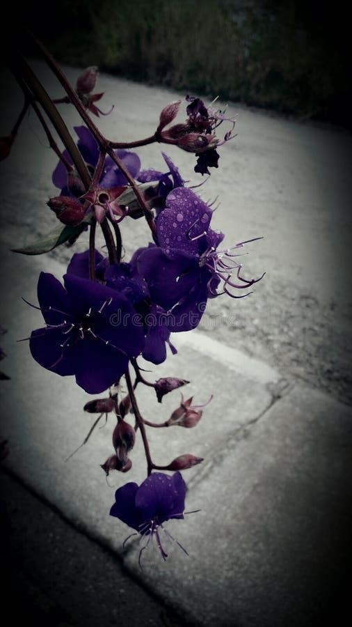 Пурпур Bouchina стоковое изображение rf
