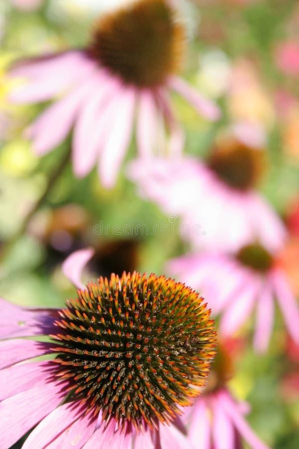 пурпур coneflower стоковая фотография rf