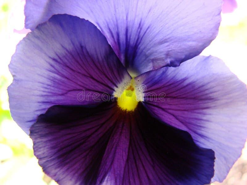пурпур pansy стоковое изображение rf