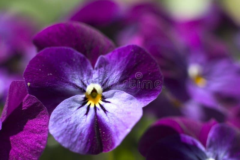 пурпур pansy стоковое фото