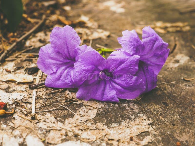 Пурпур, ruellia, конец вверх, природа стоковые фото
