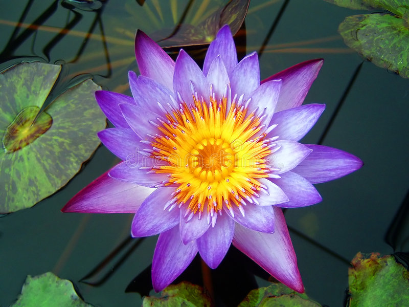 пурпур Waterlily Стоковая Фотография RF