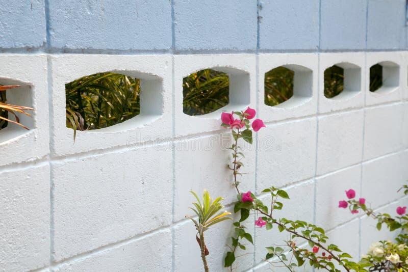 Пускайте ростии с розовыми цветками рядом с белой и голубой конкретной загородкой стоковые изображения rf