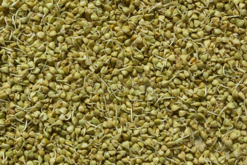 Пусканные ростии зеленые зерна гречихи Здоровая предпосылка концепции еды стоковые изображения