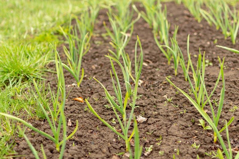 Пусканные ростии молодые ростки лука в саде Молодые зеленые луки стоковые фото