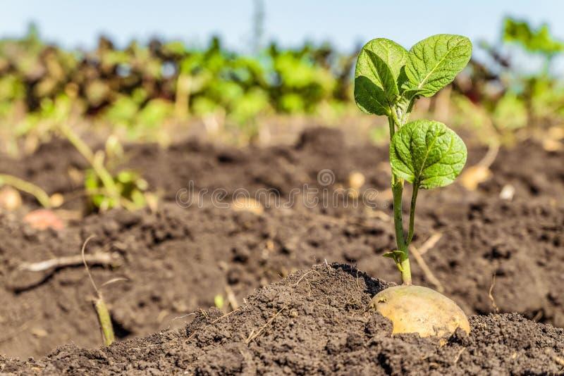 Пусканный ростии клубень картошки Всходы зеленого цвета семени картошки на предпосылке плантации стоковое фото rf